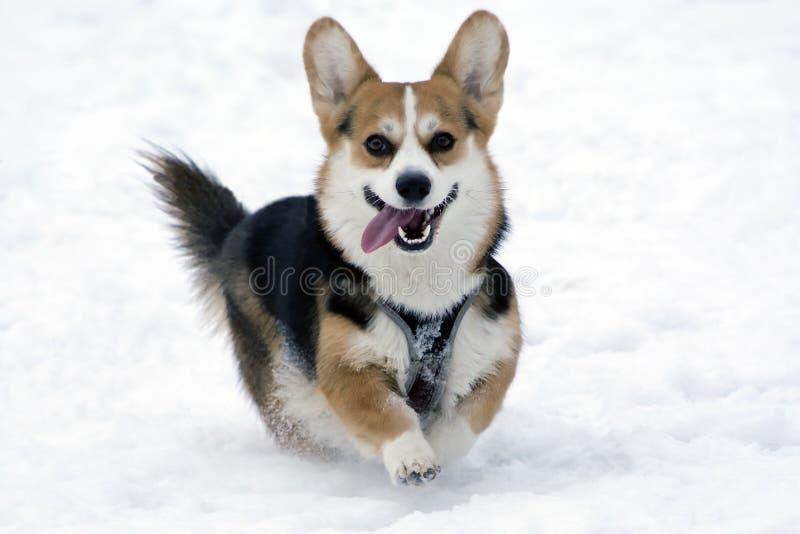 Ein Hund auf dem Schnee lizenzfreies stockbild