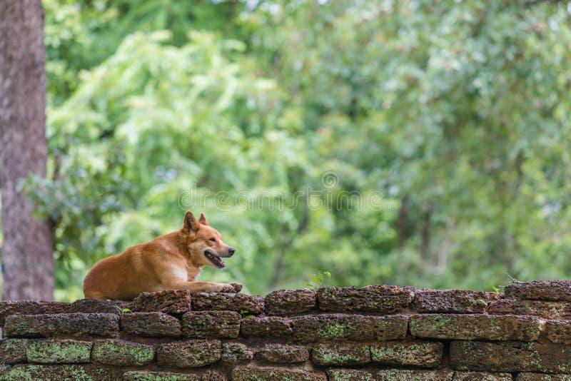 Download Ein Hund, Der Auf Laterite-Steinwand, Der Historische Park, Provinz Kamphaeng Phet Sich Entspannt Stockbild - Bild von schauen, sommer: 96932139