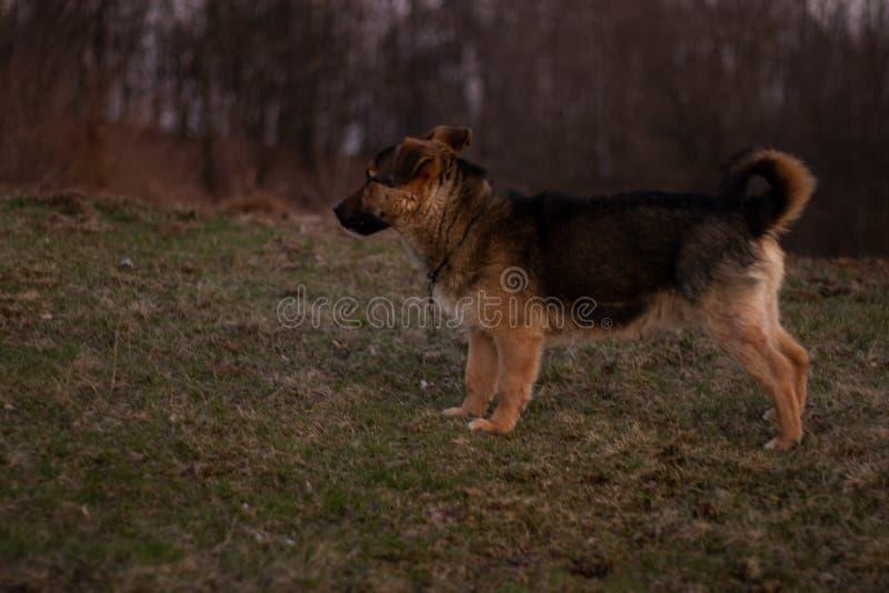 Ein Hund, der Aufmerksamkeit zahlt lizenzfreies stockfoto