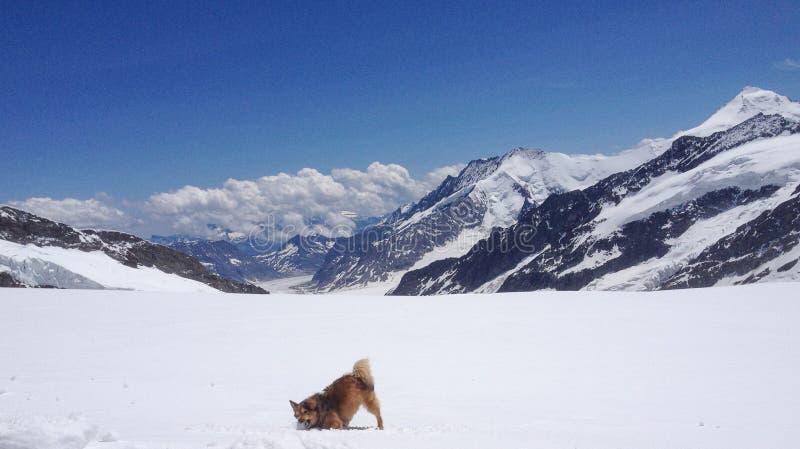 Ein Hund, der mit Schnee vor Aletsch-Gletscher, die Schweiz spielt lizenzfreies stockfoto