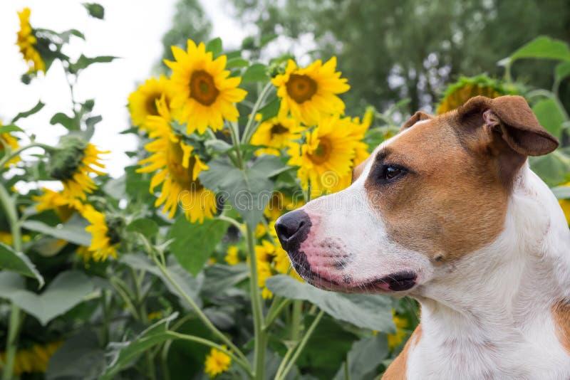 Ein Hund, der vor den Sonnenblumen aufwirft stockfotos