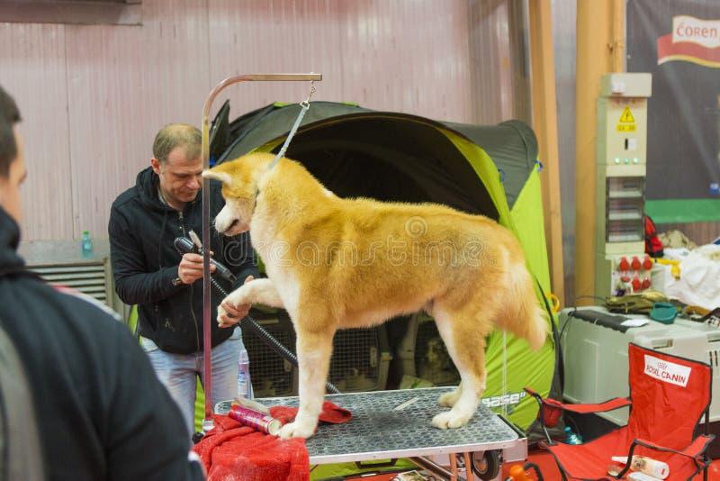 Ein Hund, der zu einem Wettbewerb fertig wird stockbilder