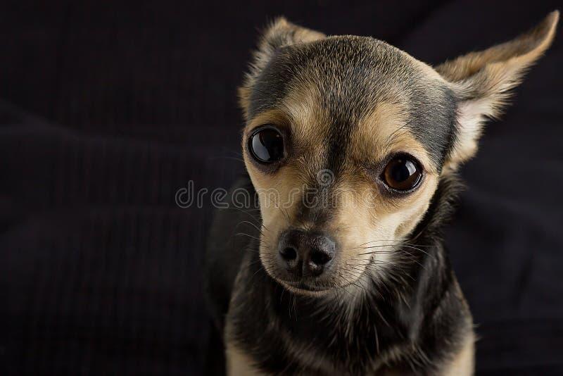 Ein Hund des Spielzeugterriers lizenzfreies stockfoto