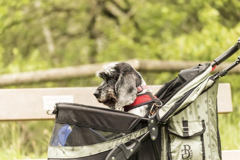 Ein Hund in einem Haustier Pram, der entlang einen Nationalpark-Weg schaut traurig gedrückt wird lizenzfreie stockbilder