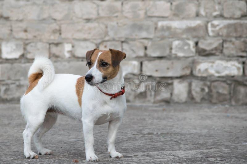 Ein Hund Jack Russell Terrier, der auf dem Hintergrund der alten grauen Backsteinmauer eines ruinierten Gebäudes steht stockbild