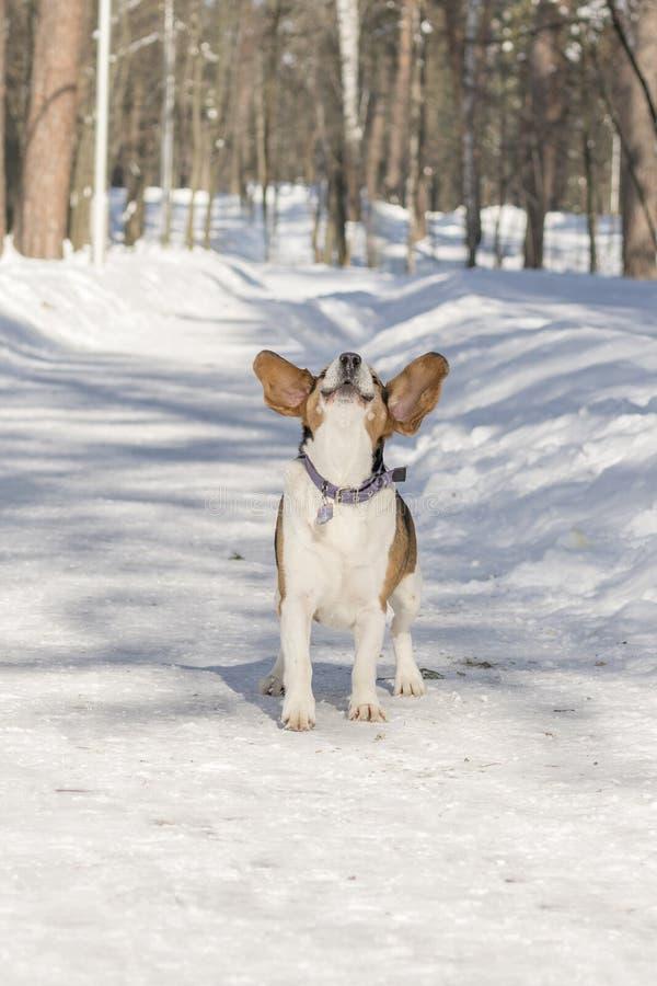 Ein Hund mit den großen und lustigen Ohren bellend in einem Winterpark lizenzfreie stockfotos