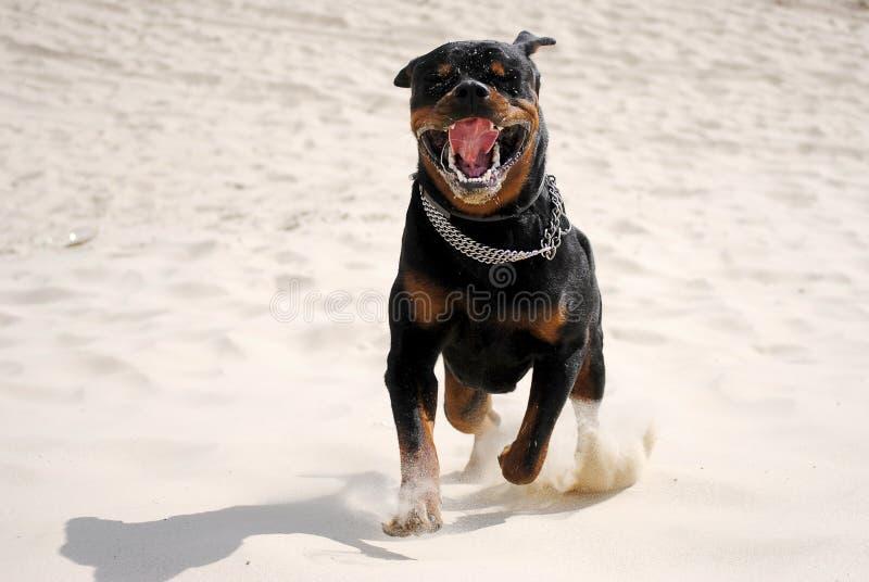 Ein Hund-rottweiler lizenzfreie stockfotos
