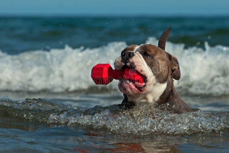 Ein Hund schwimmt mit ihrem Spielzeug in einem gewellten Meer