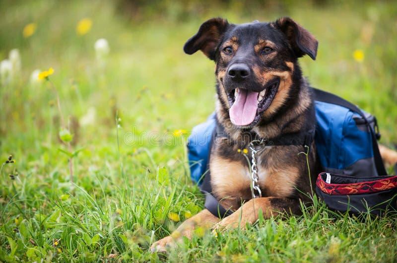 Ein Hund sitzt auf einem grasartigen Gebiet stockfoto
