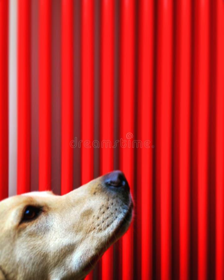 Ein Hund wartet ergeben eine Festlichkeit lizenzfreies stockfoto