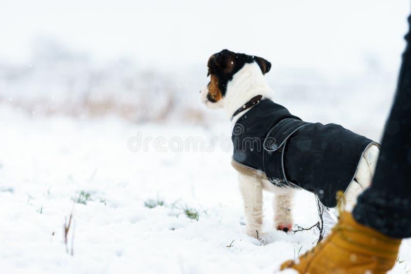 Ein Hunderudel heben Russell-Terrier jagt auf eine Winterwiese Alles im Schnee stockbild