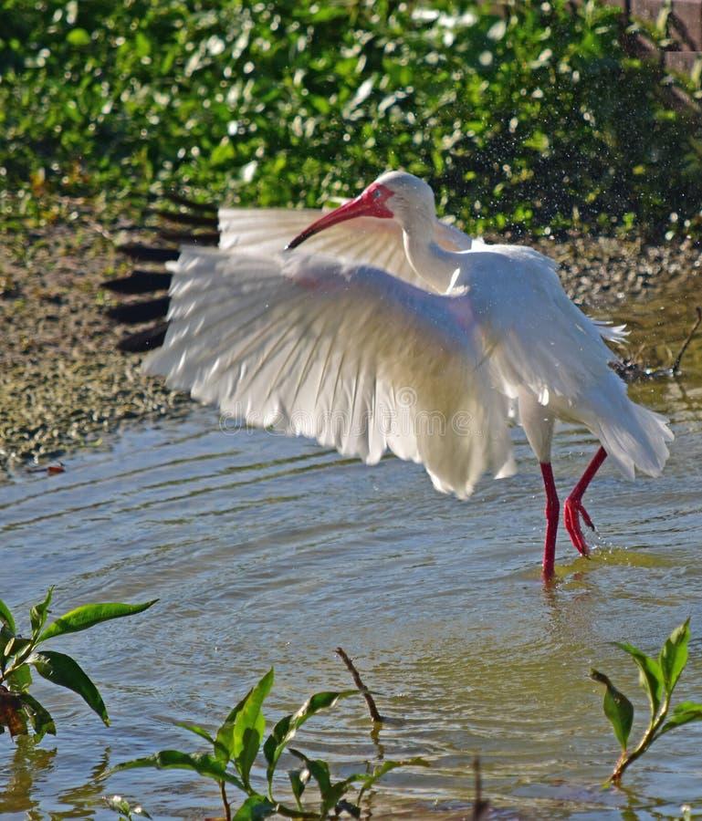 Ein IBIS biegt es ist Flügel Eine große und mannigfaltige Anzahl von Vögeln machen See Morton ein Haus lizenzfreies stockbild