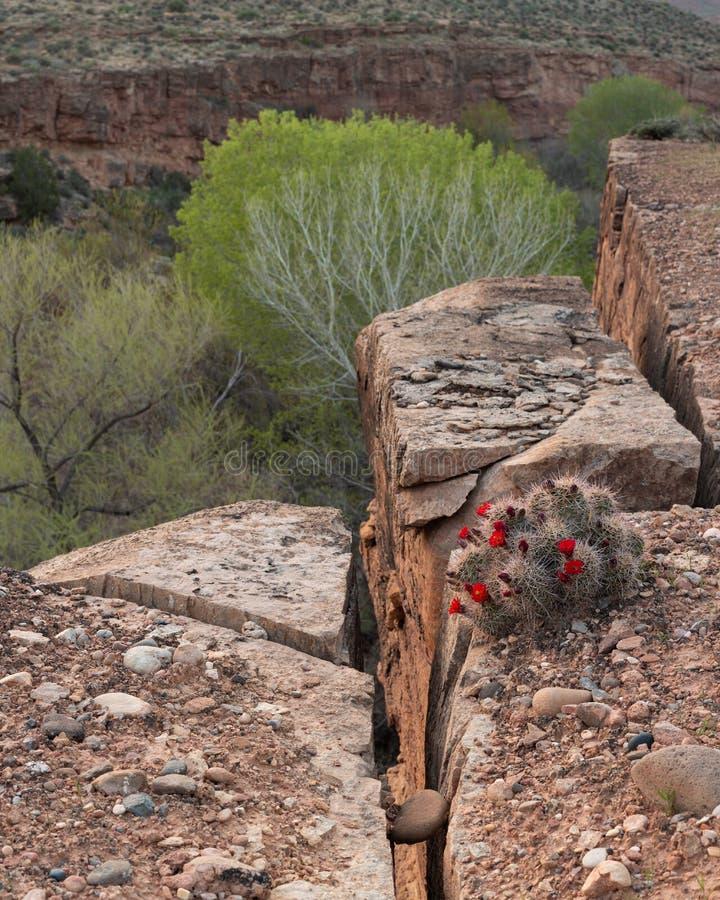 Ein Igeler Kaktus mit hellen roten Blumen am Rand einer Spalte in der Sandsteinklippe mit blassen en-grün Pappelbäumen im Ba stockbild
