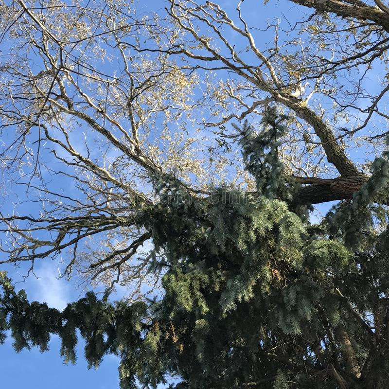 Ein immergrüner Baum mitten in einem herrlichen und sonnigen Winter stockbild