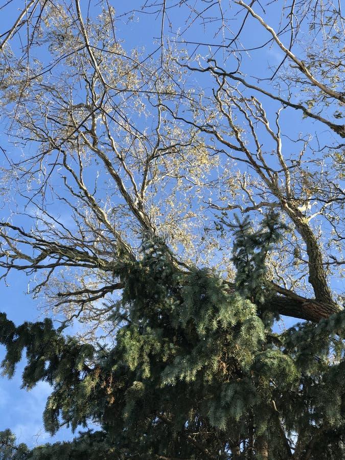 Ein immergrüner Baum mitten in einem sonnigen Winter lizenzfreies stockfoto