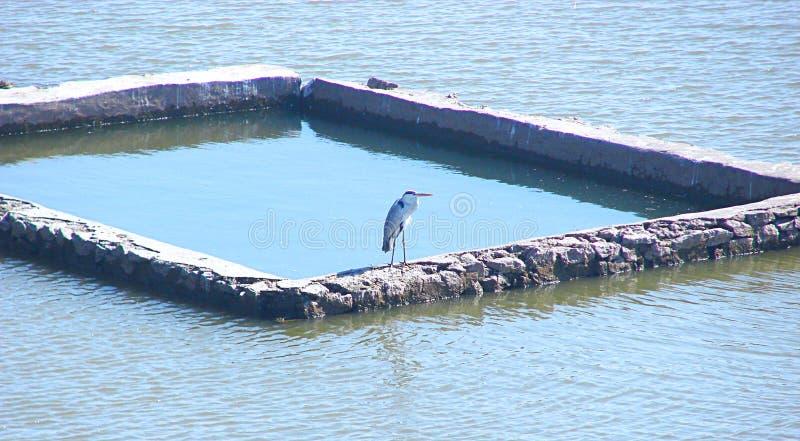 Ein indischer Teich-Reiher Ardeola Grayii stockbild