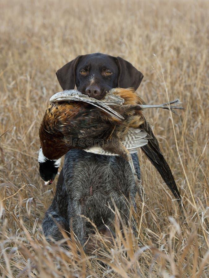 Ein Jagd-Hund mit einem Fasan lizenzfreies stockbild