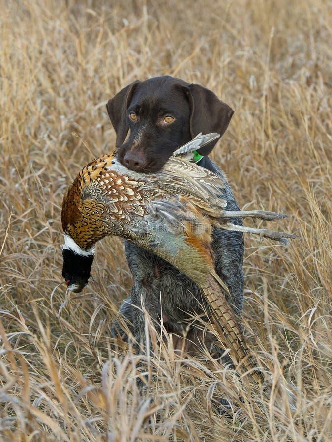 Ein Jagd-Hund mit einem Fasan stockbilder