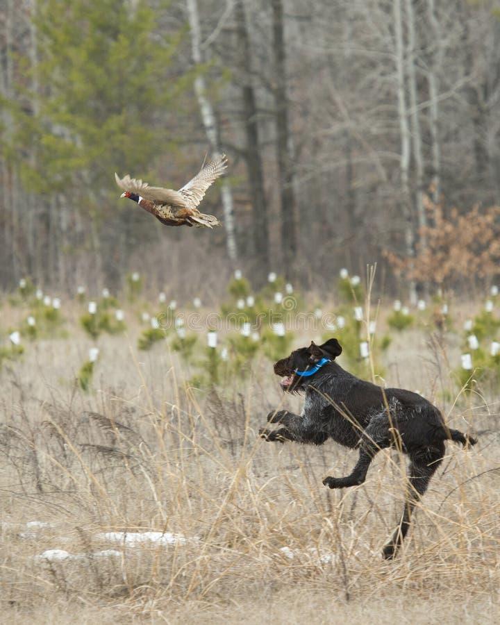 Ein Jagd-Hund nach einem Fasan lizenzfreie stockbilder