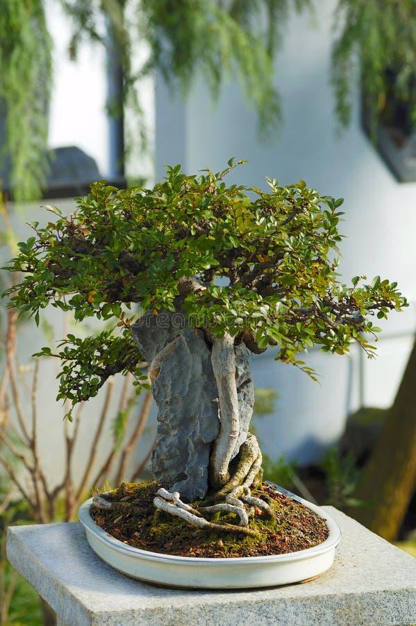 Ein japanischer Bonsaisbaum stockfoto