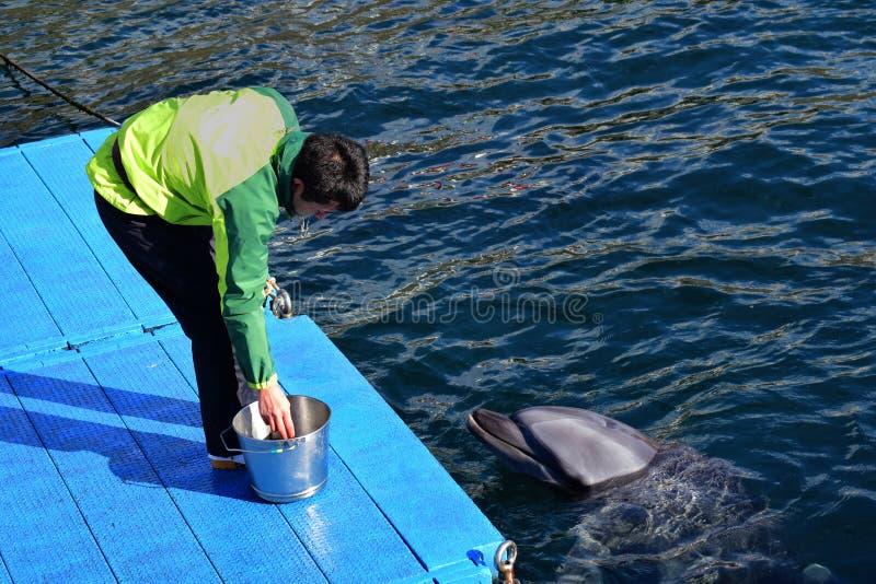 Ein japanischer Delphintrainer zieht den Delphin in Japan Kagoshima ein stockbilder