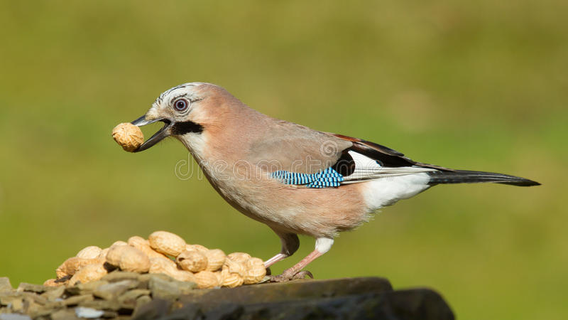 Ein jay-Vogel (Garrulus glandarius) lizenzfreie stockfotografie
