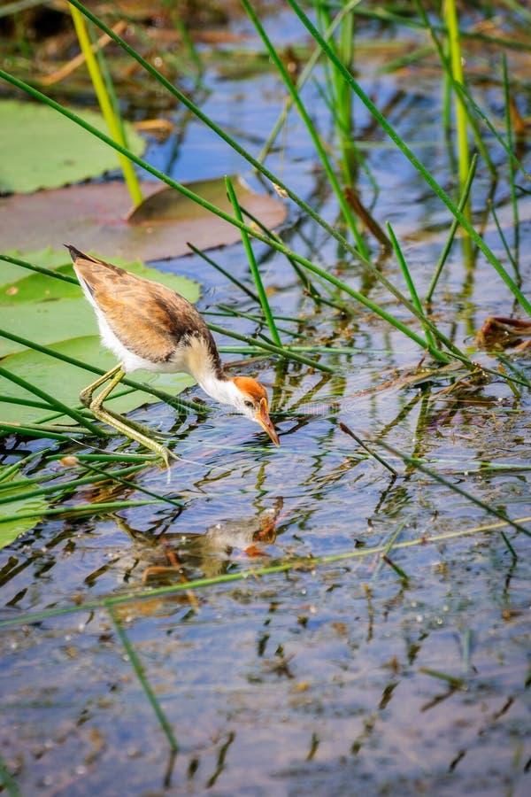 Ein ` Jesus-Vogel ` Aussehung wie es geht auf Wasser in Corroboree-Sumpfgebieten, NT, Australien lizenzfreie stockbilder