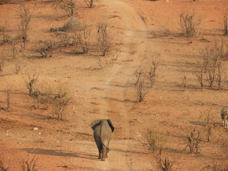 Ein Jungbulleelefant, der auf einen verwitterten Weg geht lizenzfreie stockbilder