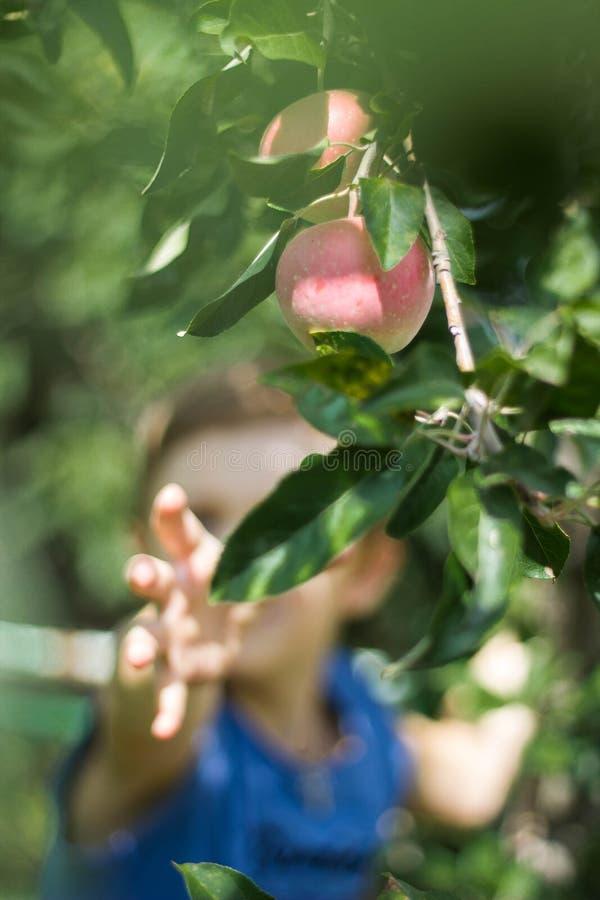Ein Junge auf einem Baum wählt Äpfel aus lizenzfreie stockbilder