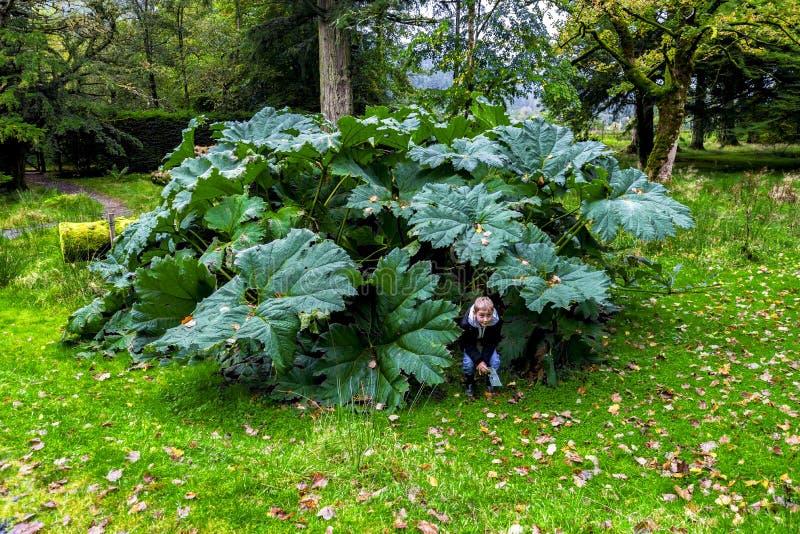 Ein Junge, der unter großen Blättern von Gunnera Manicata in botanischem Garten Benmore, Schottland sich versteckt lizenzfreie stockbilder