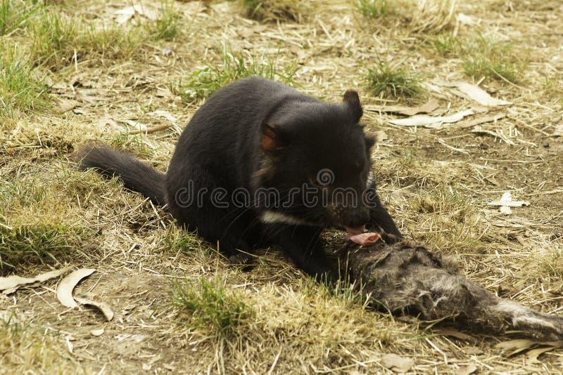 Ein junge Frau gefährdeter tasmanischer Teufel zieht auf eine Karkasse am frühen Morgen ein lizenzfreies stockfoto