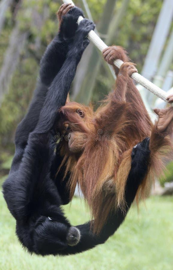 Ein Junge-Orang-Utan Spiele mit einem Siamang stockfotos