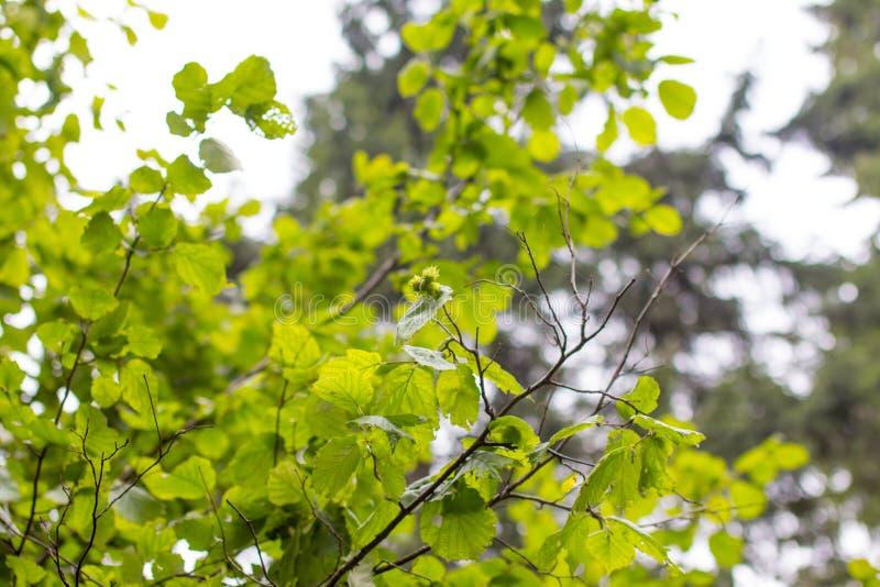 Ein junger Baum der Haselnuss stockbilder