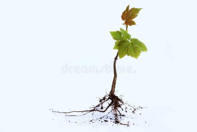 Ein junger Baum mit Wurzeln auf einem weißen Hintergrund lizenzfreies stockbild