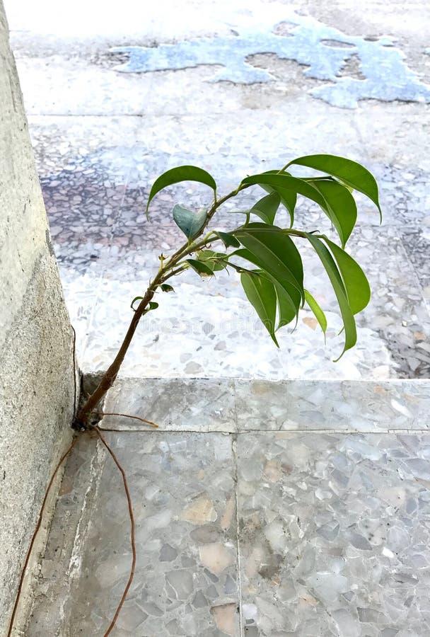 Ein junger Baum versucht, in den Gebäude ` s Sprung zu überleben stockfoto