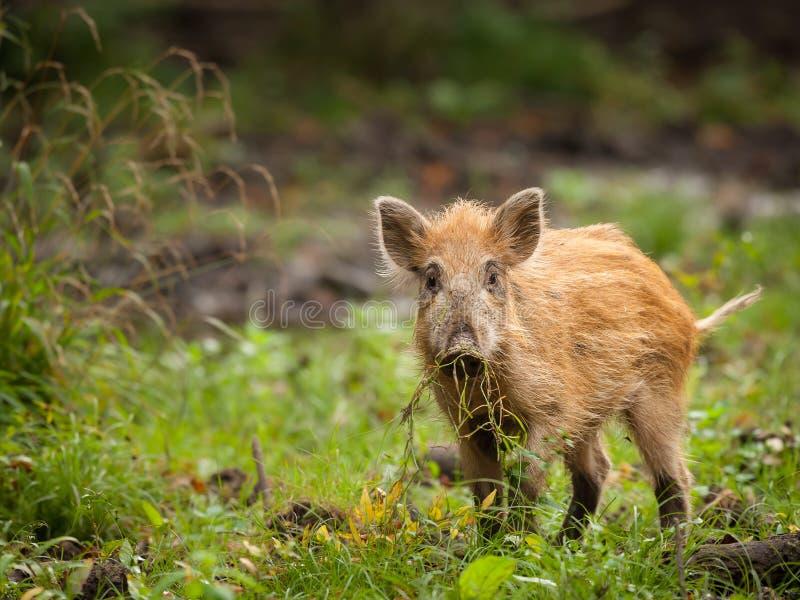 Ein junger Eber im Wald, der nach Lebensmittel sucht lizenzfreie stockfotografie