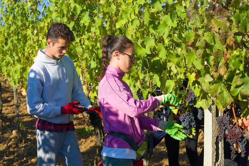 Ein junger Mann und ein Mädchen erfassen Trauben in einem Weinberg Ernten in Toskana stockfotografie