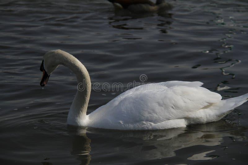 Ein junger Schwan schwimmt ruhig auf dem Wasser lizenzfreie stockbilder