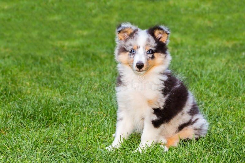 Ein junger sheltie Hund, der auf Gras sitzt lizenzfreie stockbilder
