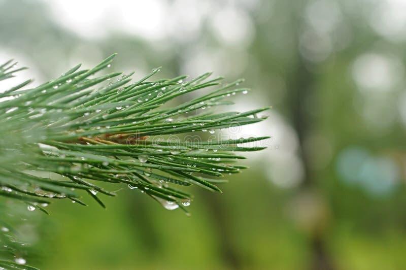 Ein junger Tannenbaumast stockfoto