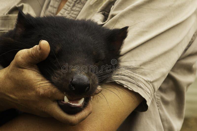 Ein junger weiblicher gefährdeter sichernder tasmanischer Teufel wickelt seine Zähne um den Finger seines Wächters ein lizenzfreies stockbild