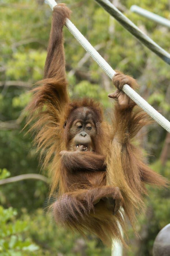 Ein junger Zoo-Orang-Utan hängt von einem Seil stockfoto