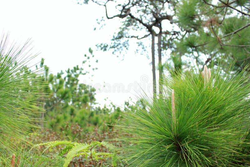 Ein junges Kiefernwachstum oben auf dem hohen Berg in Thailand lizenzfreie stockfotos