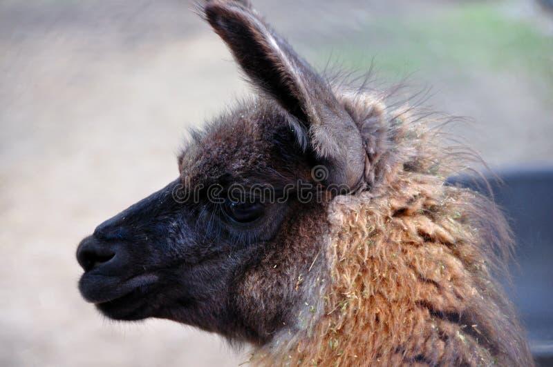 Ein junges Lama lizenzfreie stockfotos