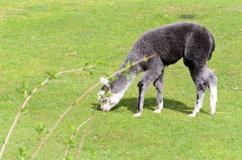 Ein junges Lama lässt auf einer grünen Wiese auf einem sonnigen Frühlingsmorgen weiden stockbild