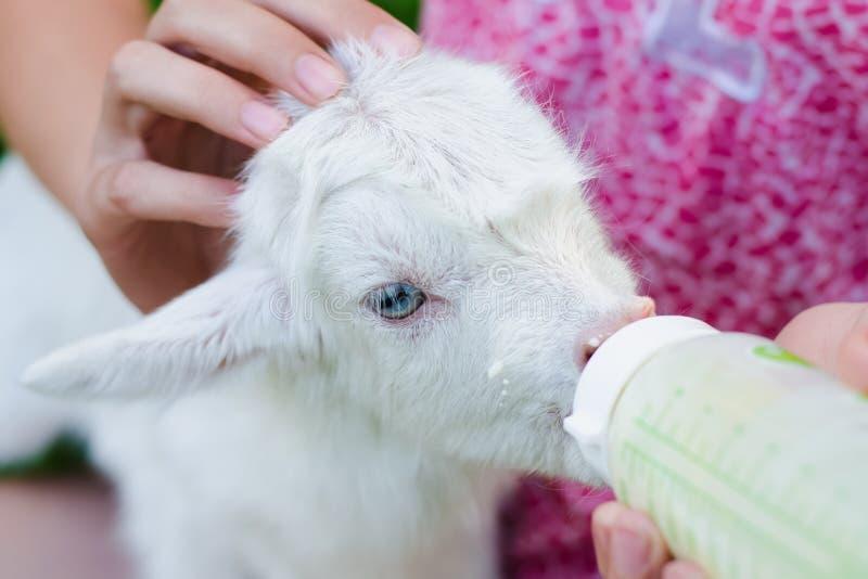 Ein junges Mädchen zieht eine neugeborene Ziege mit Milch von einer Flasche mit der Attrappe des Babys ein stockfotos