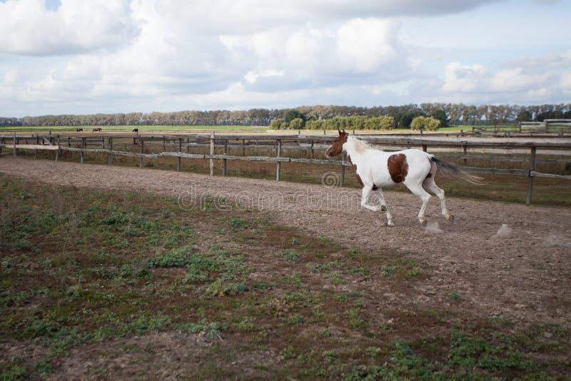 Ein junges Pferd, das in einen Stall an einem Galopp läuft stockfotografie