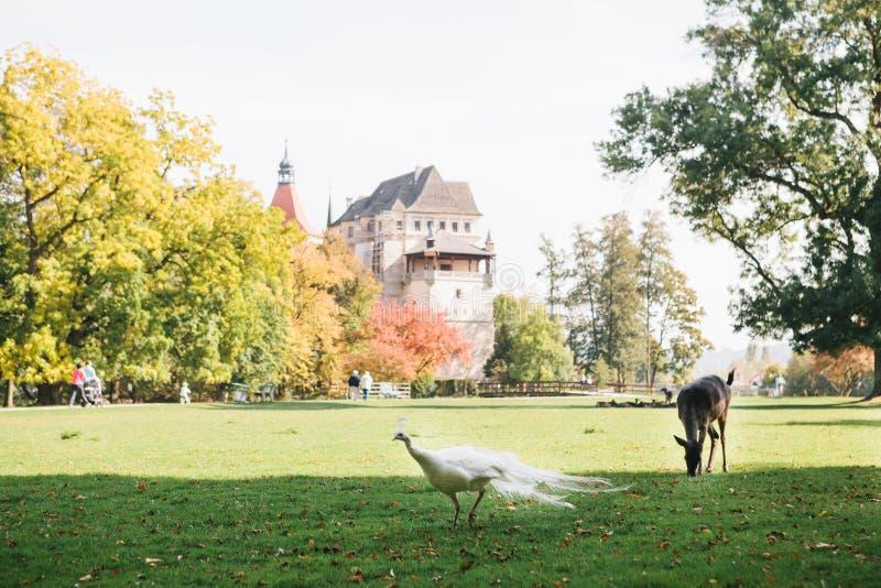 Ein junges Rotwild und ein Pfau gehen in eine Wiese nahe Blatna-Schloss in der Tschechischen Republik lizenzfreies stockfoto