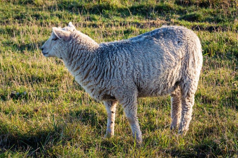 Ein junges Schaf im Weidegebiet lizenzfreie stockfotografie