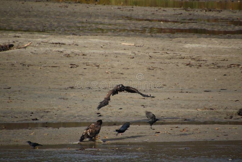 Ein junges Wei?kopfseeadlerfliegen an einem anderen Adler stockbilder
